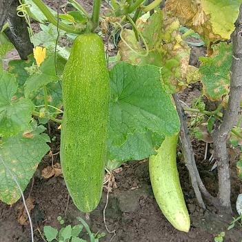 黄瓜 1公斤