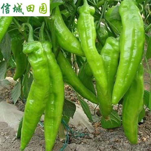 辣椒 1公斤