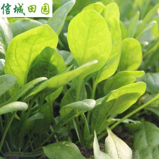 菠菜 1公斤