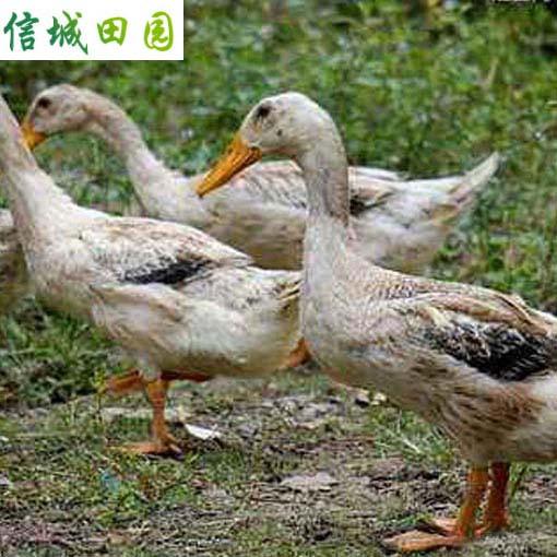 鸭子 1只